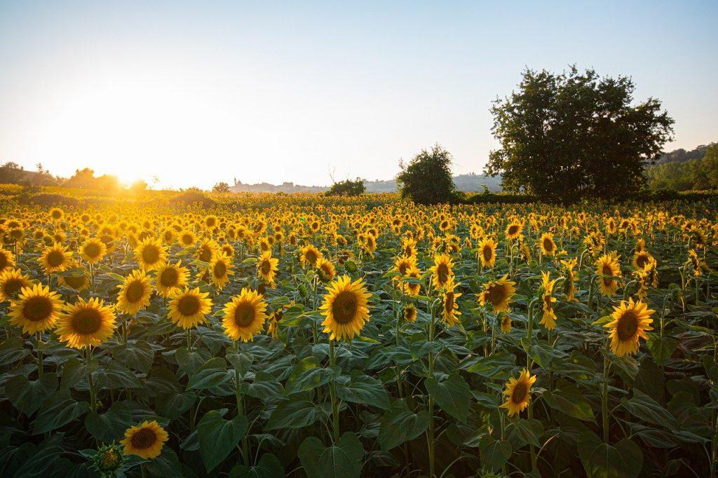 sunflowers 6007847 1280