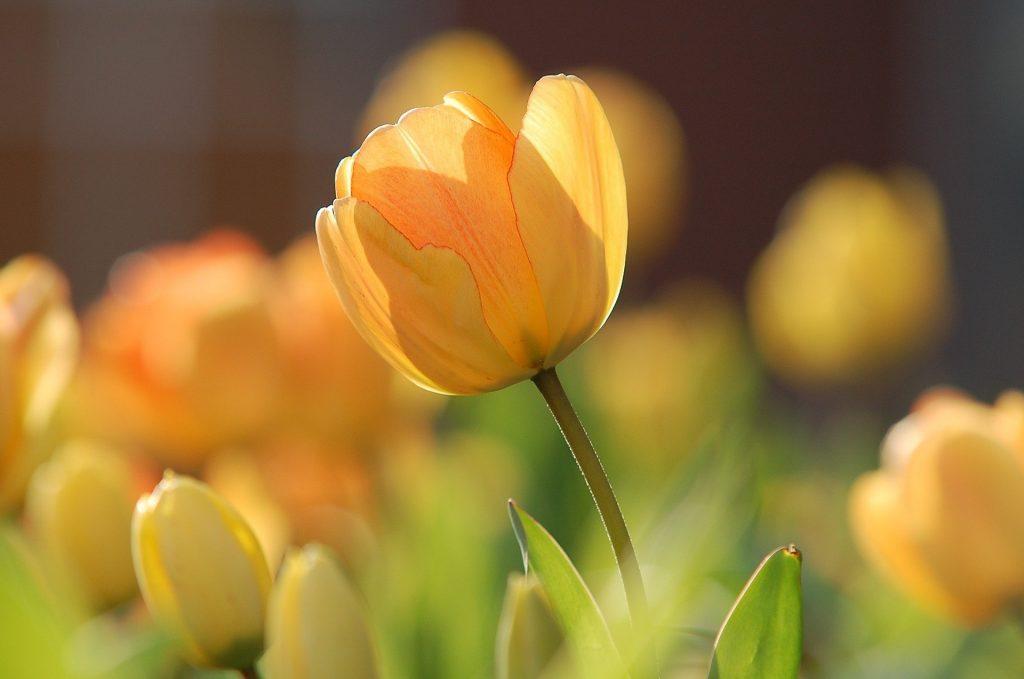 tulips 690320 1920