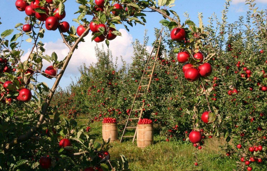apples 1873078 1280