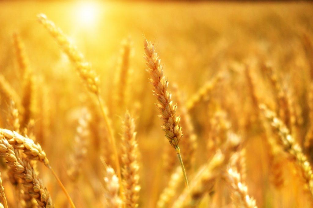 wheat 3506758 1920
