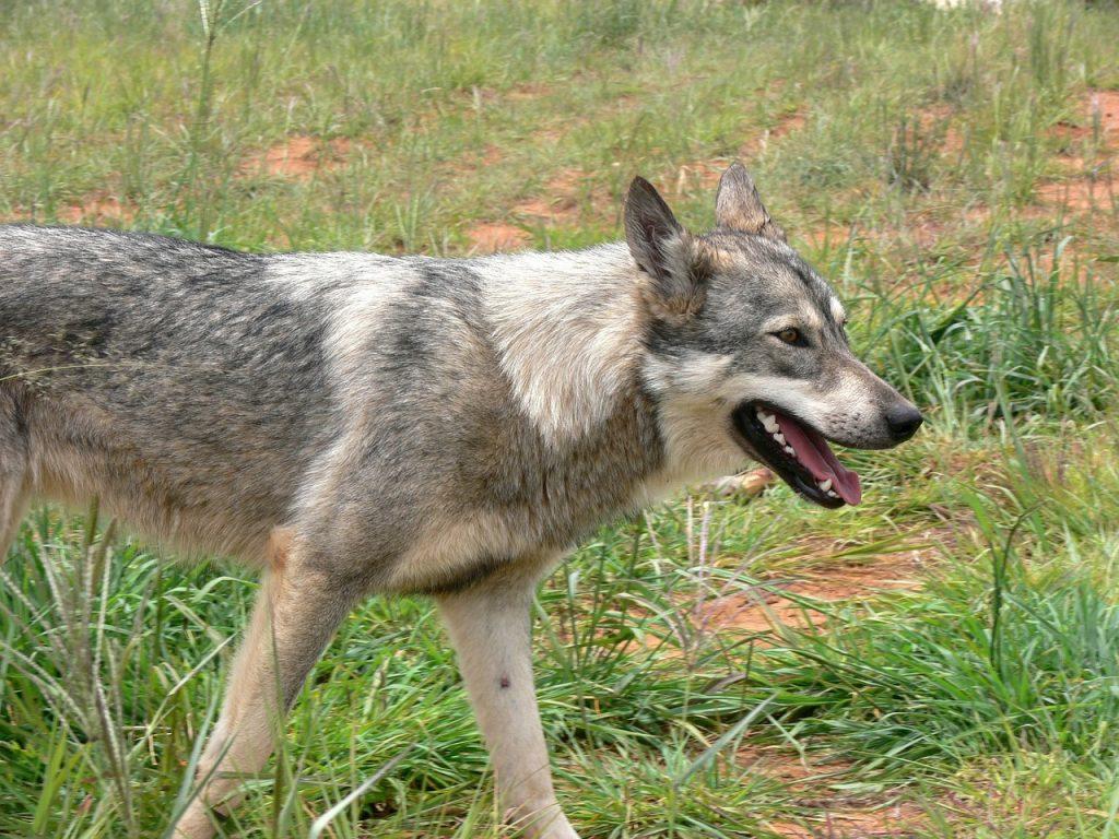 wolf 164427 1280