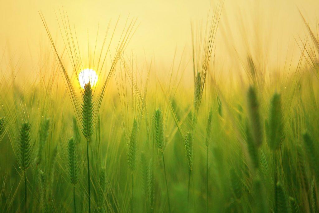 barley field 1684052 1920 1