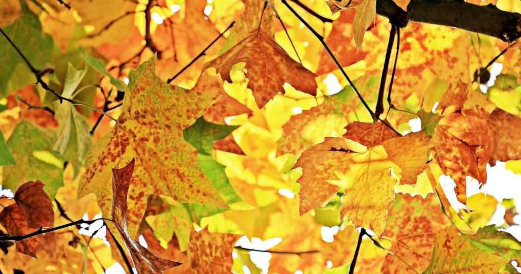 chestnut leaves 1655915 1920