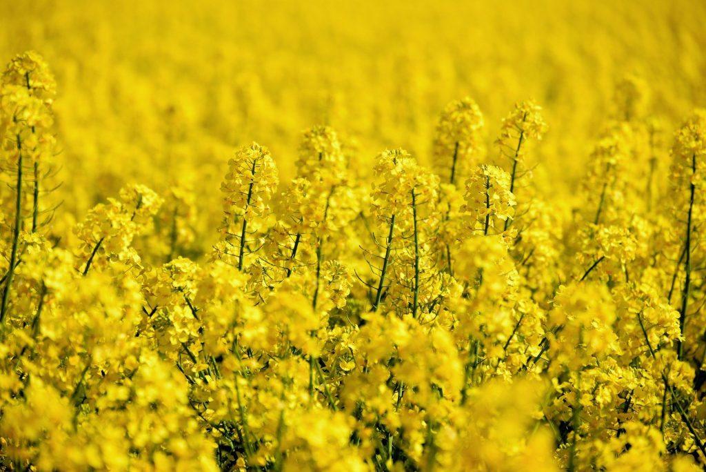oilseed rape 5098369 1920