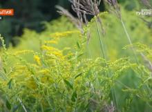 В Брянской области продолжается борьба с борщевиком и золотарником