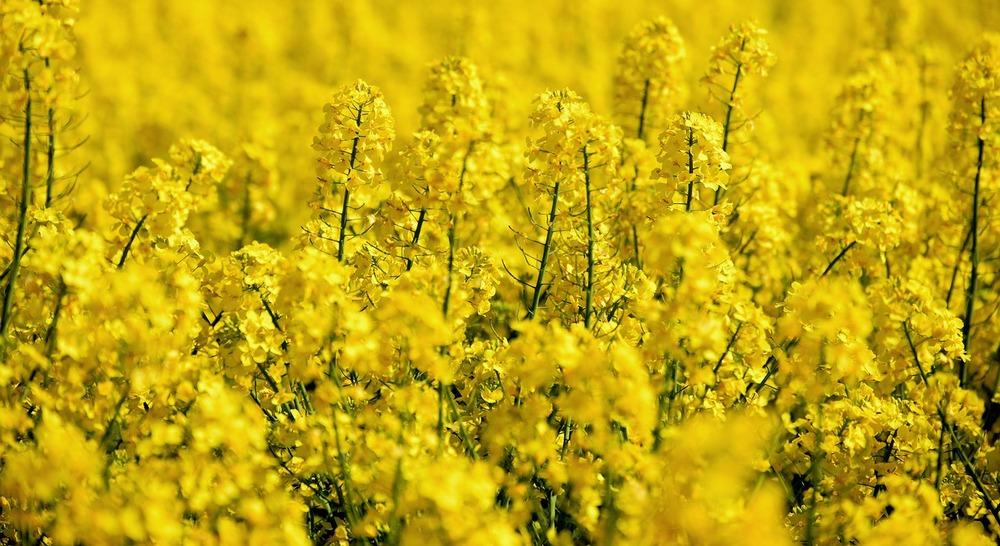 oilseed rape 5098369 1280 1