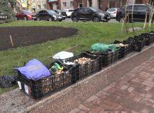 На клумбы Брянска под зиму высадят рекордное количество тюльпанов